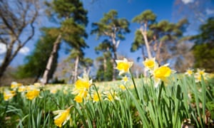 Daffodils in Dora's Field at Rydal in the Lake District