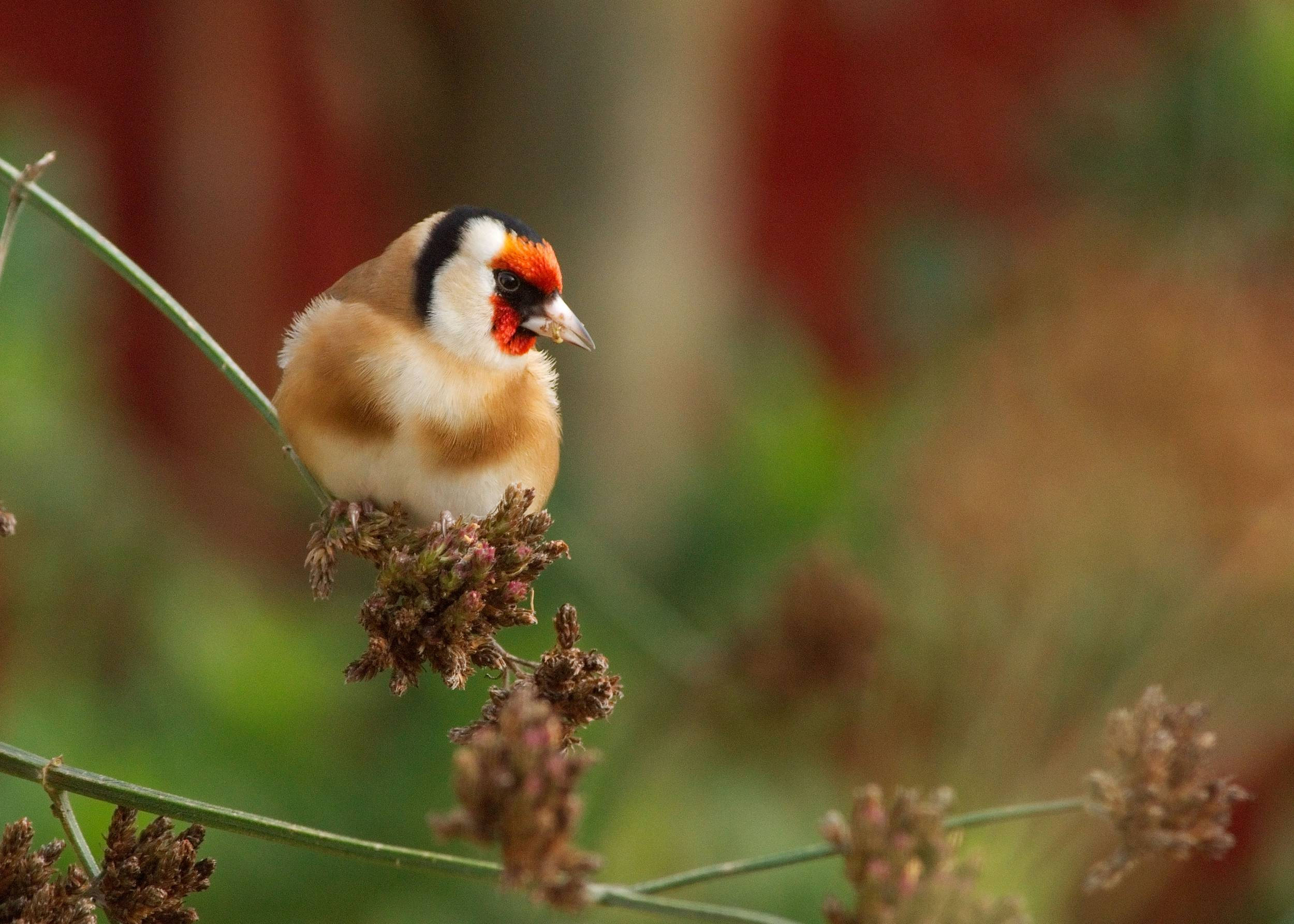 Formerly rare garden birds now booming thanks to food put out for