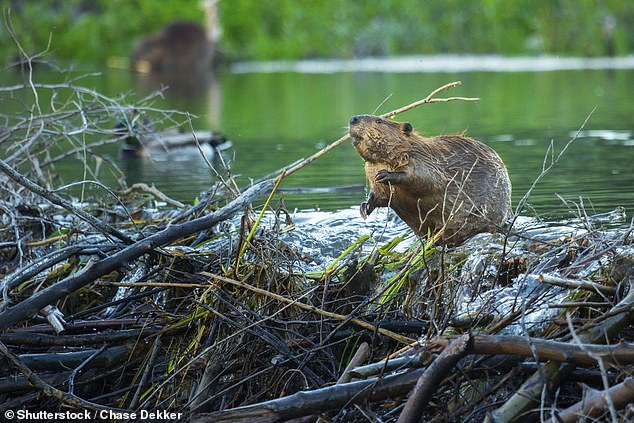 A team, from the University of Helsinki in Finland describe them as 'ecosystem engineers' because their dam-building work has such a good effect on habitats. Beavers were hunted and disappeared from Britain around 400 years ago