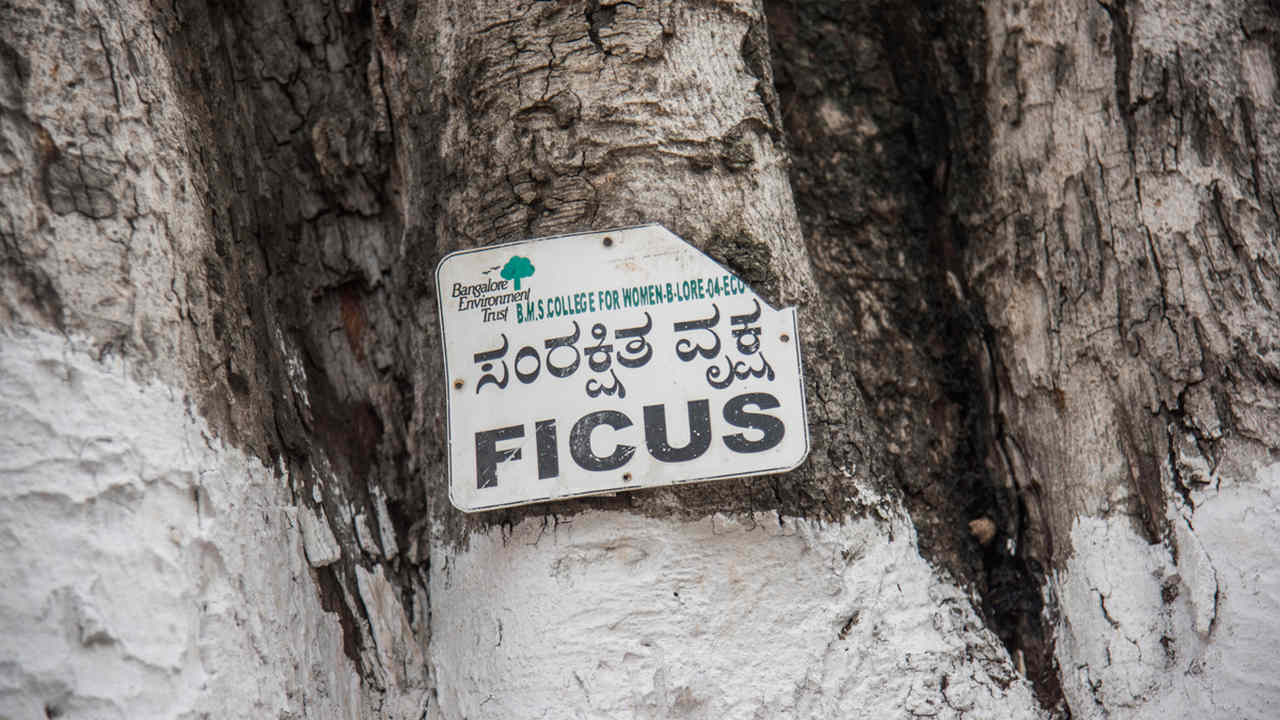 69 percent of these species observed at the sacred sites were native. Peepal (Ficus religiosa) and neem (Azadirachta indica) trees occurred frequently in the sacred sites followed by doob grass (Cynodon dactylon). Image credit: Steevez Rodriguez/PEP Collective.