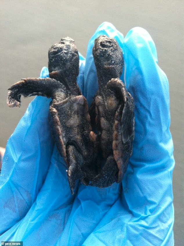 A mutant two-headed turtle has been discovered living a relatively normal life by shocked conservationists (pictured)