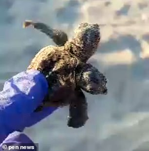The chances of the turtle surviving are slim, as seen normal animals have an approximate 1 in 100 chance of survival long-tern