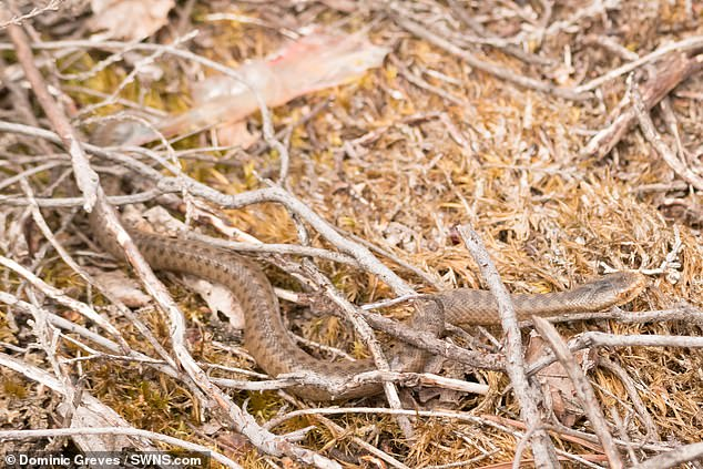 Adders typically give birth to about 12 babies, which are independent soon after birth and go about living on their own