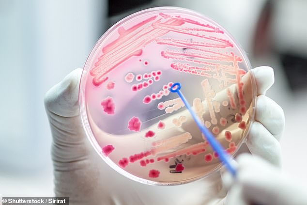 Several strands of Escherichia coli bacteria (pictured) are already used to create biofuels however they normally feed off sugar - which is not a freely abundant substance (stock)