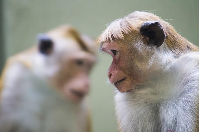 A monkey has infected a lab worker in Japan with the deadly herpes B virus.They are an employee of a pharmaceutical company who use macaque monkeys (stock) for research