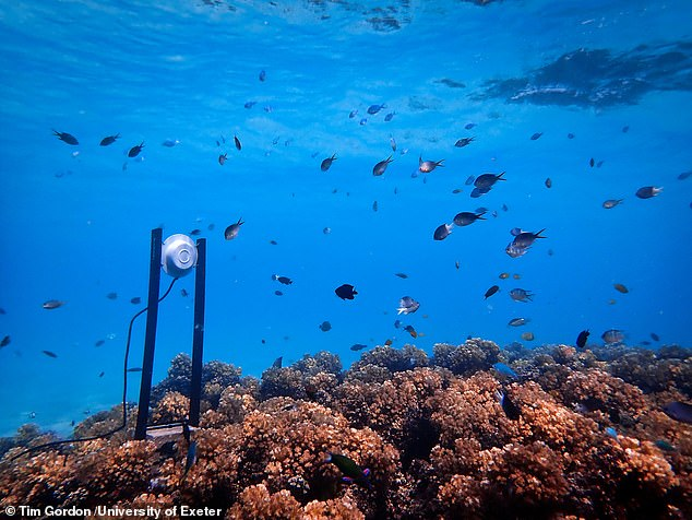 'Healthy coral reefs are remarkably noisy places — the crackle of snapping shrimp and the whoops and grunts of fish combine to form a dazzling biological soundscape,' said paper author and fellow Exeter marine biologist Steve Simpson. Pictured, an underwater loudspeaker attracts fish to a dead patch of coral reef