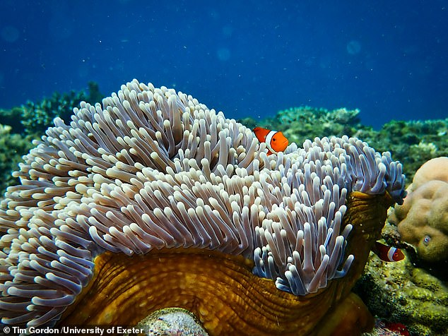 'Reefs become ghostly quiet when they are degraded — as the shrimps and fish disappear — but by using loudspeakers to restore this lost soundscape, we can attract young fish back again,' said paper author and fellow Exeter marine biologist Steve Simpson. Pictured, a clownfish peeps out from behind an anemone on the Great Barrier Reef
