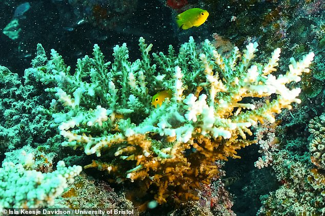 The team found that broadcasting healthy reef sounds doubled the total number of fish arriving onto experimental patches of reef habitat and in doing so increased the number of species present by 50 per cent. Pictured, a coral shelters lemon damselfish