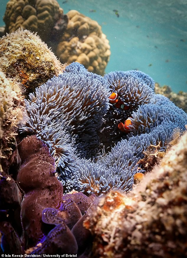 Different species of fish provide different functions on coral reefs, meaning that an abundant and diverse fish population is important for maintaining a healthy ecosystem.Pictured, clownfish shelter amidst the tentacles of an anemone on the Great Barrier Reef