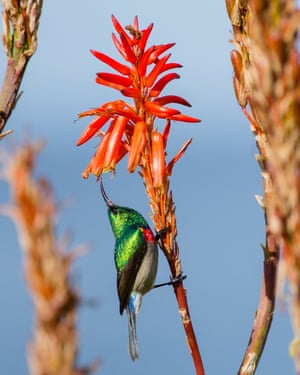 A greater double-collared sunbird angles up into the bells of aloe on the Tsitsikamma coast, South Africa